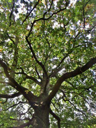 Oak in Hatfield forest