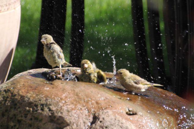 Greenfinches taking a bath