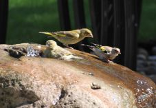 Greenfinch protects the fountain from a goldfinch