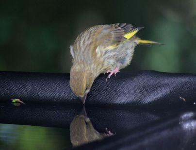 Fledgling greenfinch studies reflection