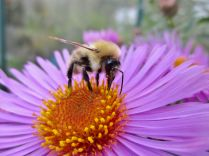 Common Carder bumblebee on aster