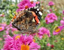 Red Admiral butterfly on aster