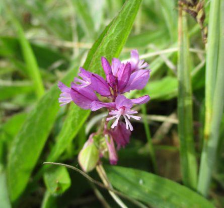 Milkwort -pink