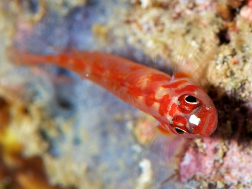 Red Spotted Pigmy Gobby