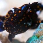 カエルアンコウ幼魚の顔