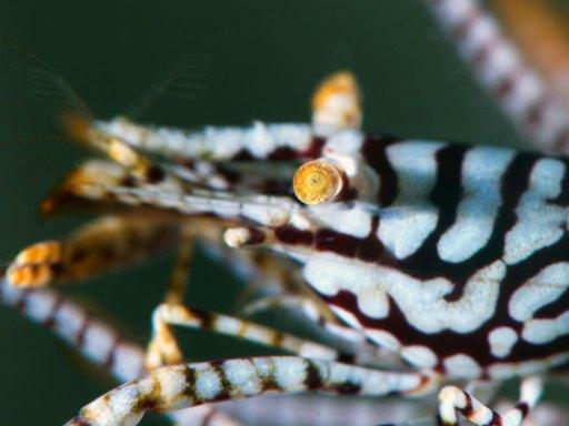 Leopard Crinoid Shrimp(バサラカクレエビ)