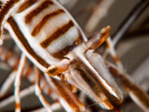 Tiger crinoid shrimp