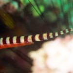 Ringed pipefish and eggs