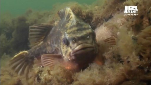 バルト海のダンゴウオ