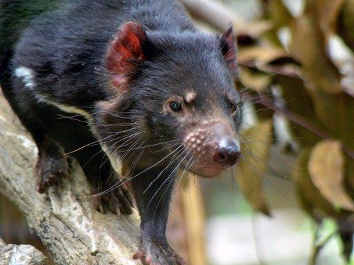 Tasmanian devil(タスマニアデビル)