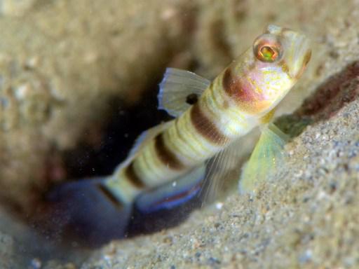 ニュウドウダテハゼの幼魚かな?