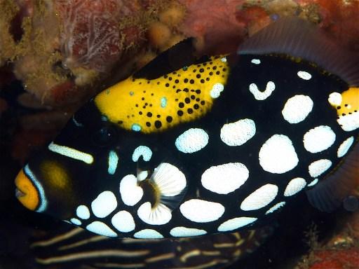 Clown triggerfish
