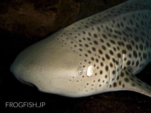 トラフザメの顔