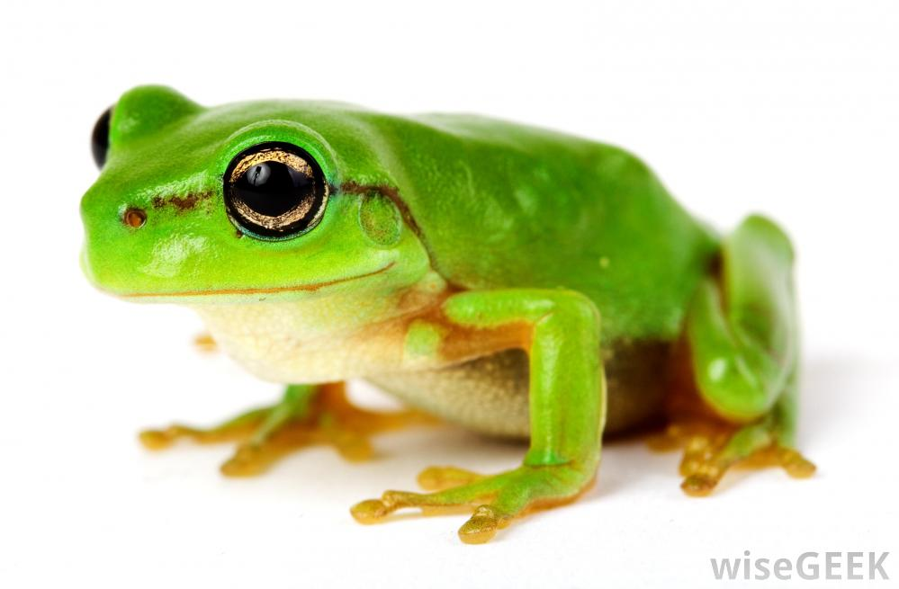 Delicieux Green Frog