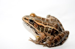 Pickerel_Frog