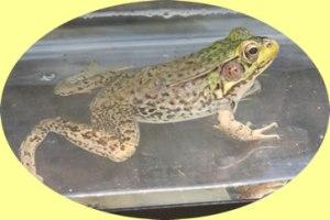 greenfrog (1)