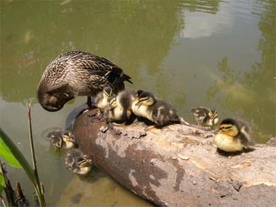 Ducks060512