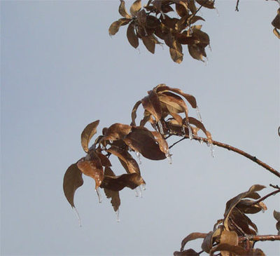 Icyleaves