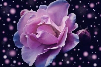 rose-574020__340