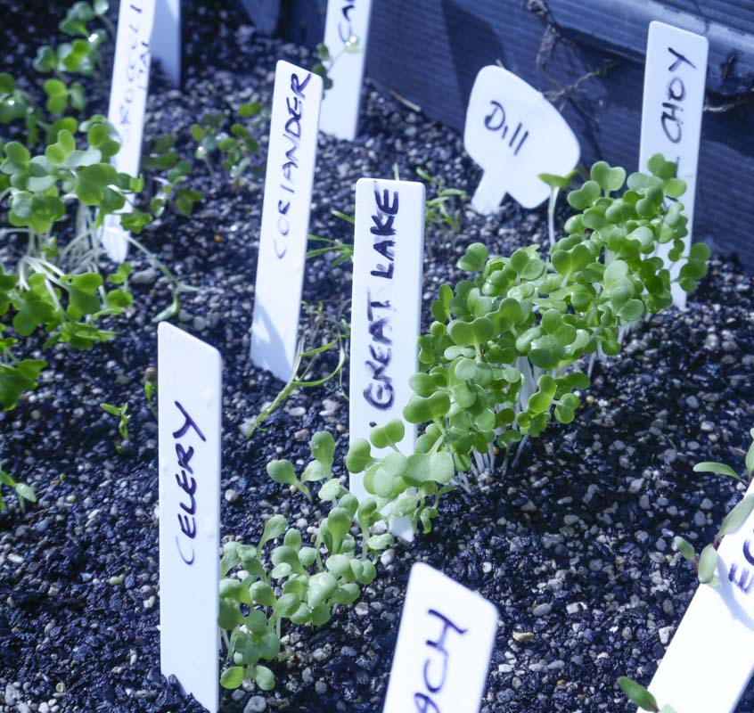 Seedlings to be pricked out ...