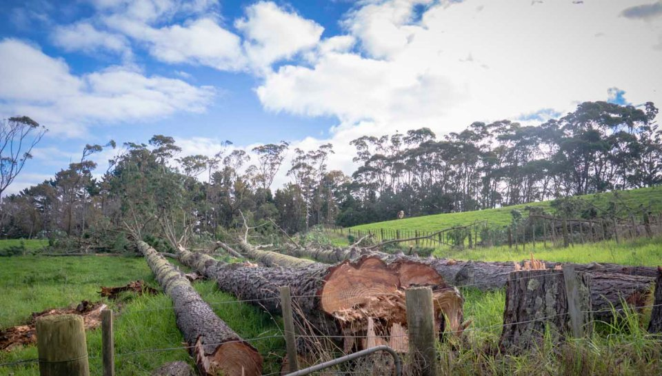 Massive pine trees - loads of firewood