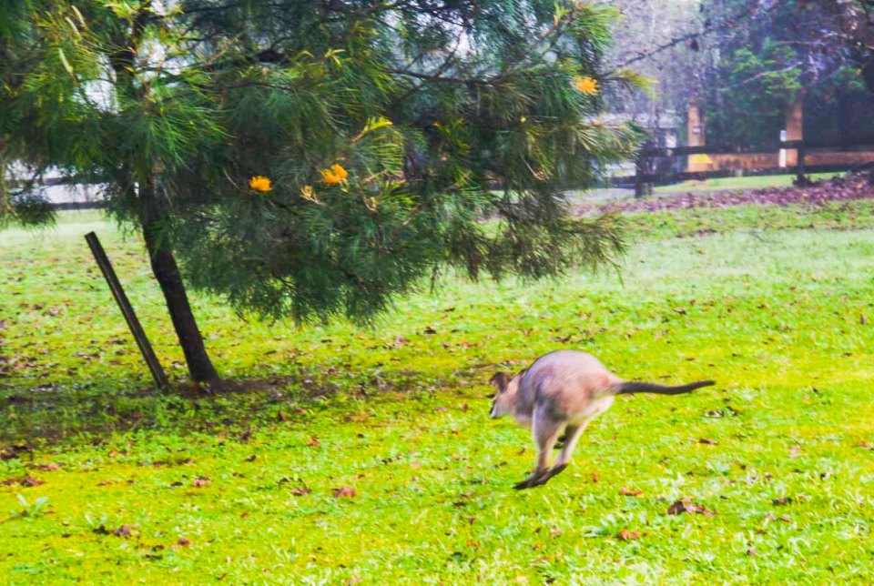 Proof that I was in Australia ... mightn't be the best pic, but it is a Wallaby!