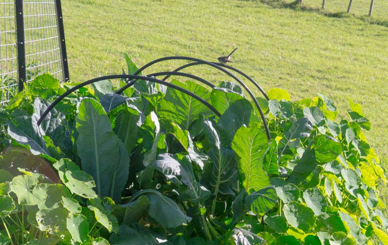 Fantail .. and yes that is the brassica garden. I couldn't bear taking a pic of the stump