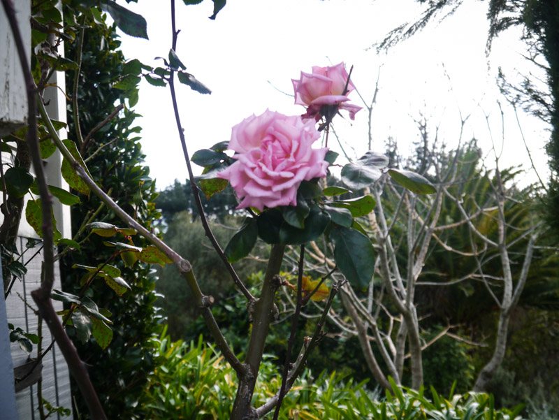 Lovely rose .. no idea of the variety