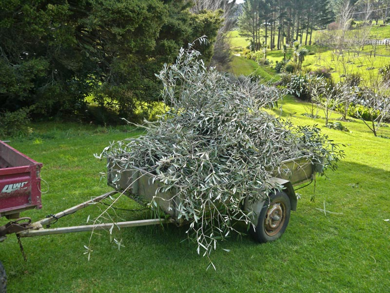 Olive trees given a long overdue haircut.
