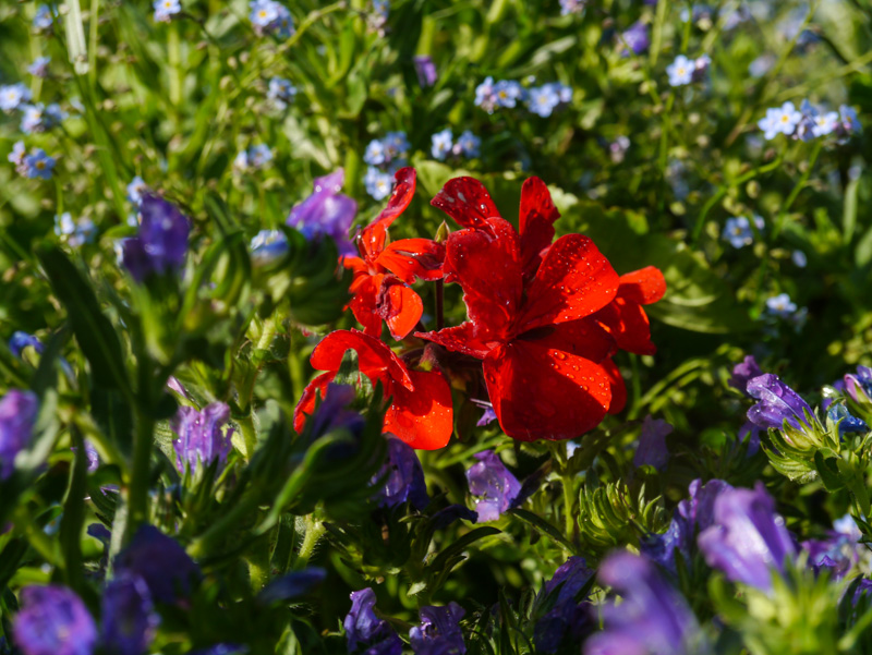 Wonderful insectary flowers. Geranium, echium and forget-me-not