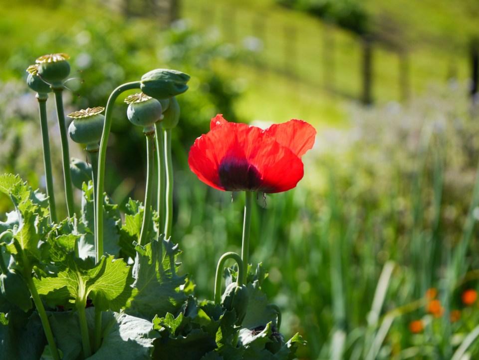 poppy-1040517