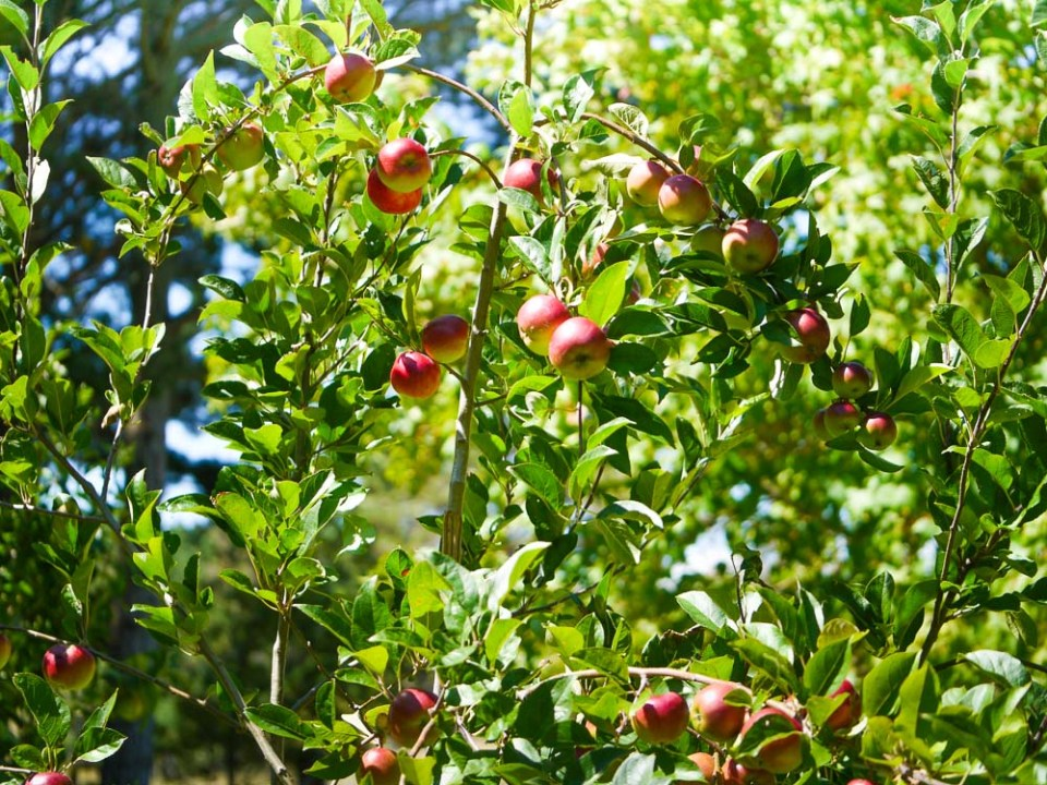 Apples-1050392