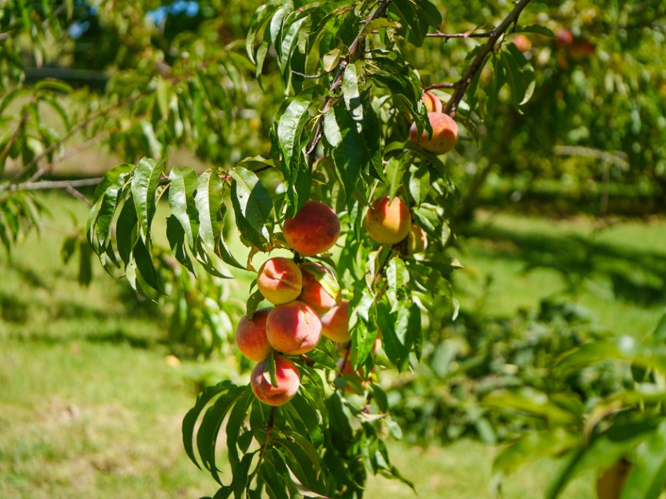 Peach-1050381