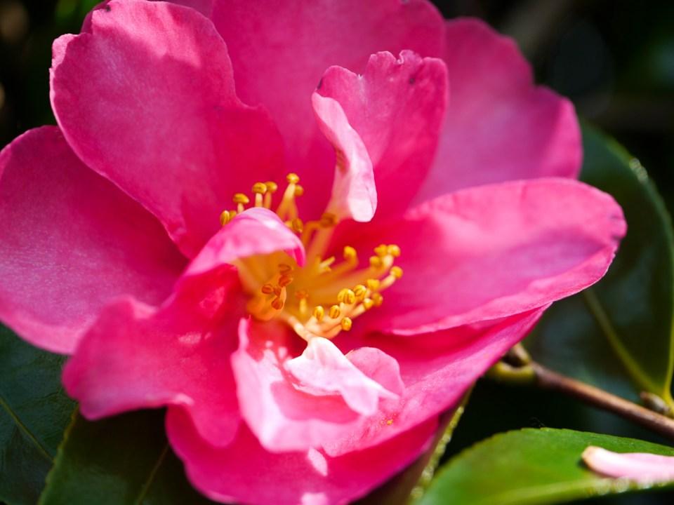 camellia-1060632