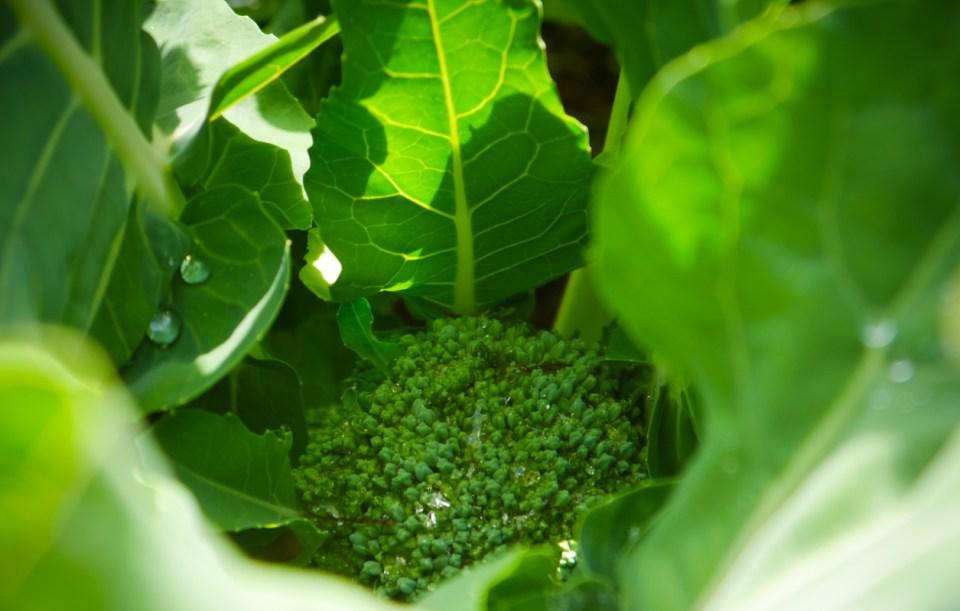 broccoli-1060899