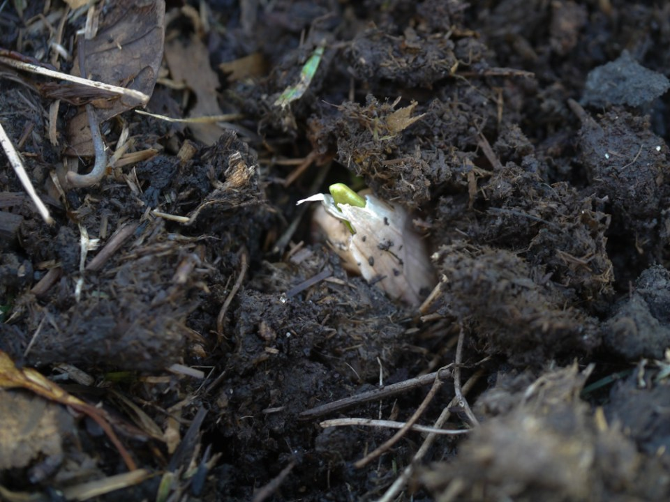 garlic heirloom sprouting