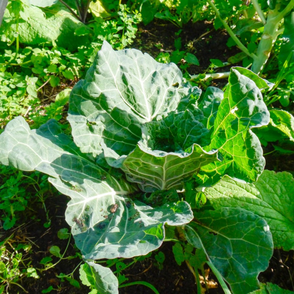 heirloom-cabbage