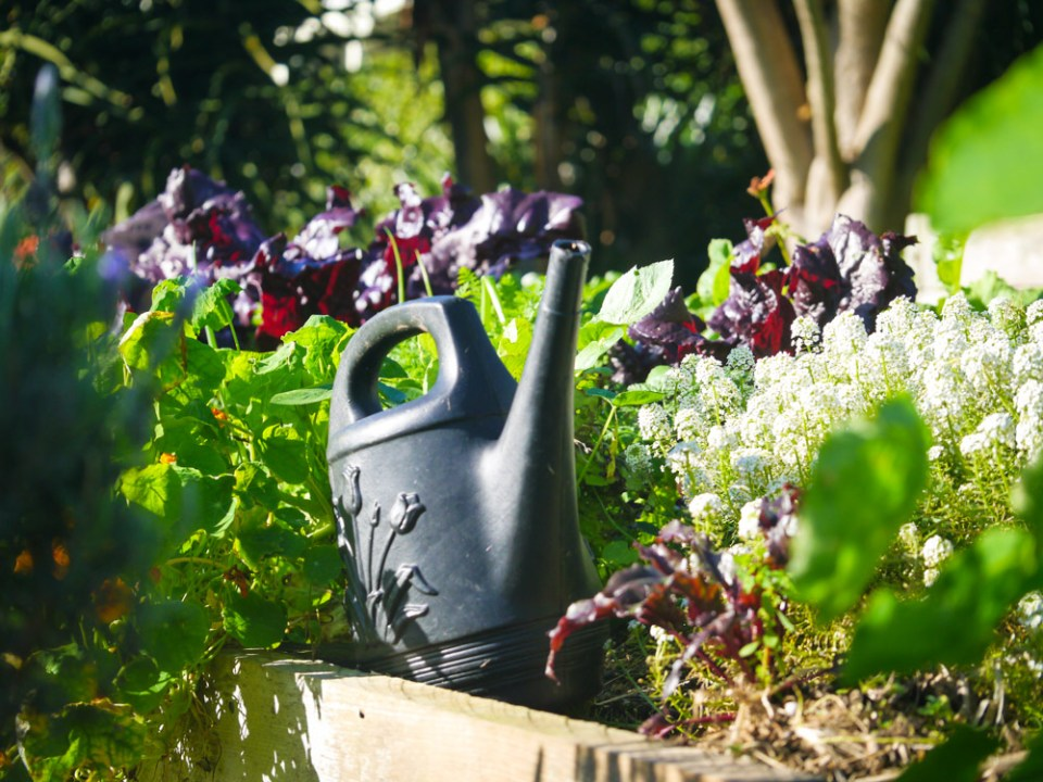 watering can in salad garden