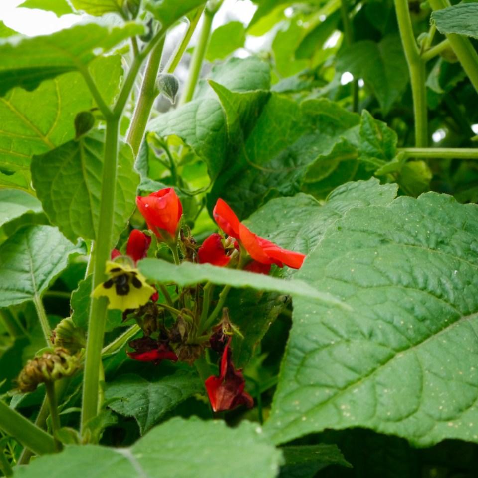 cape-gooseberry-geranium-flowers