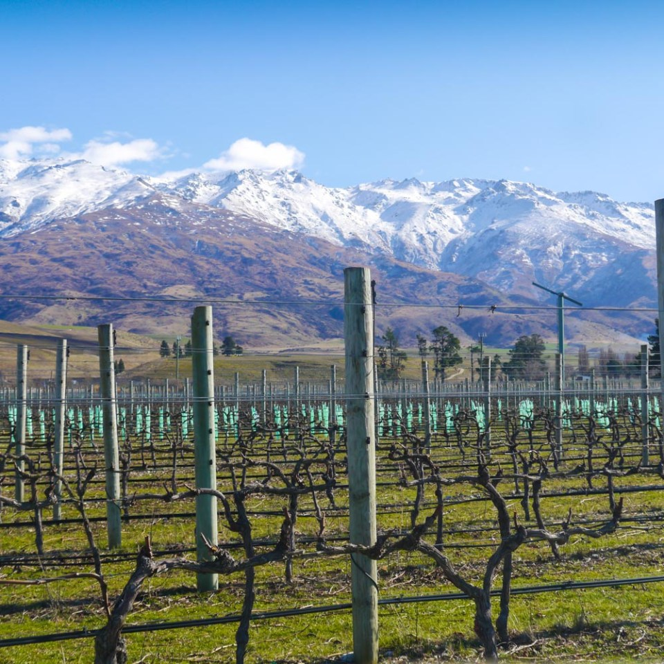 clutha-vineyard-1070958