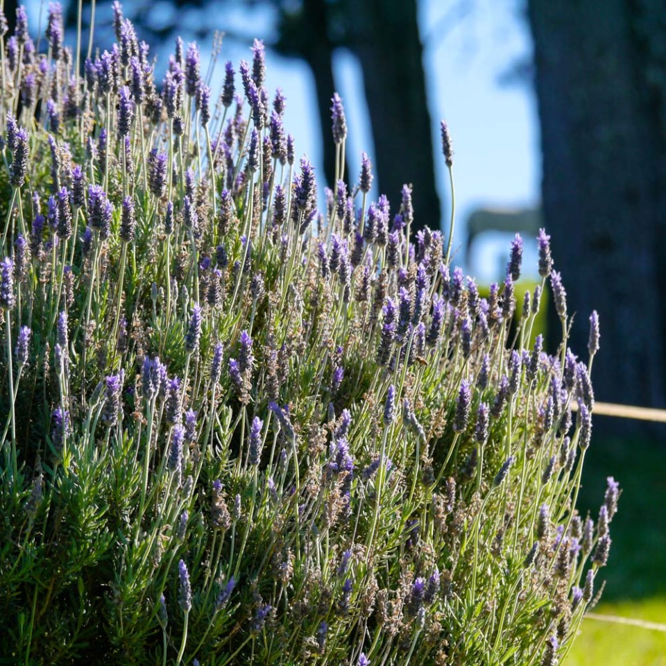 lavender-1080510