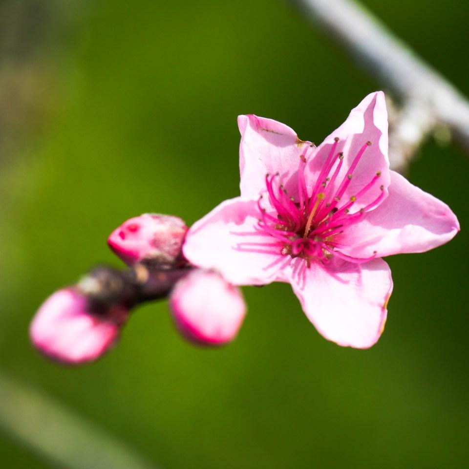 peach blossom-1080441