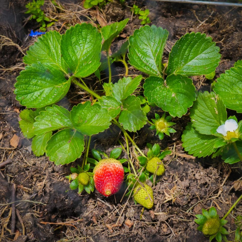 strawberries-1080791
