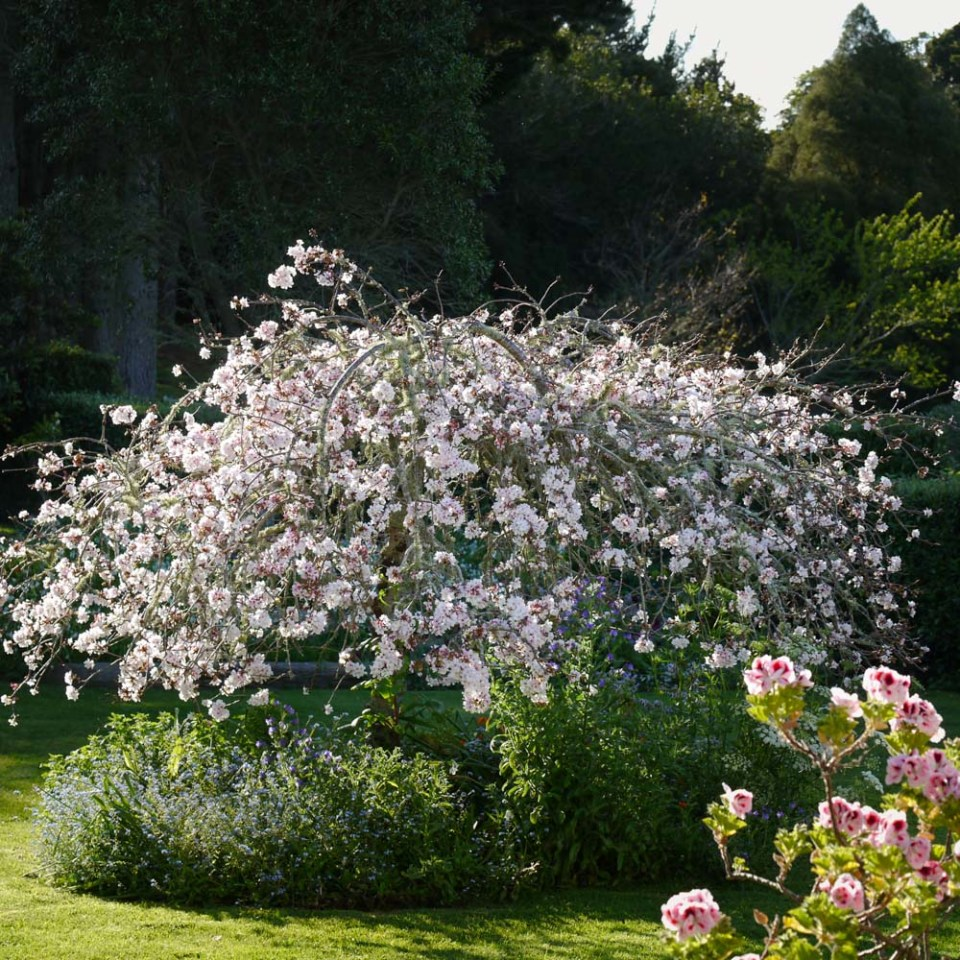 weeping cherry-1080905