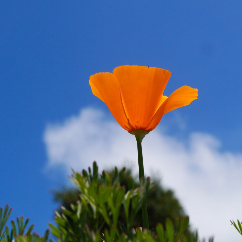 poppy-1090075