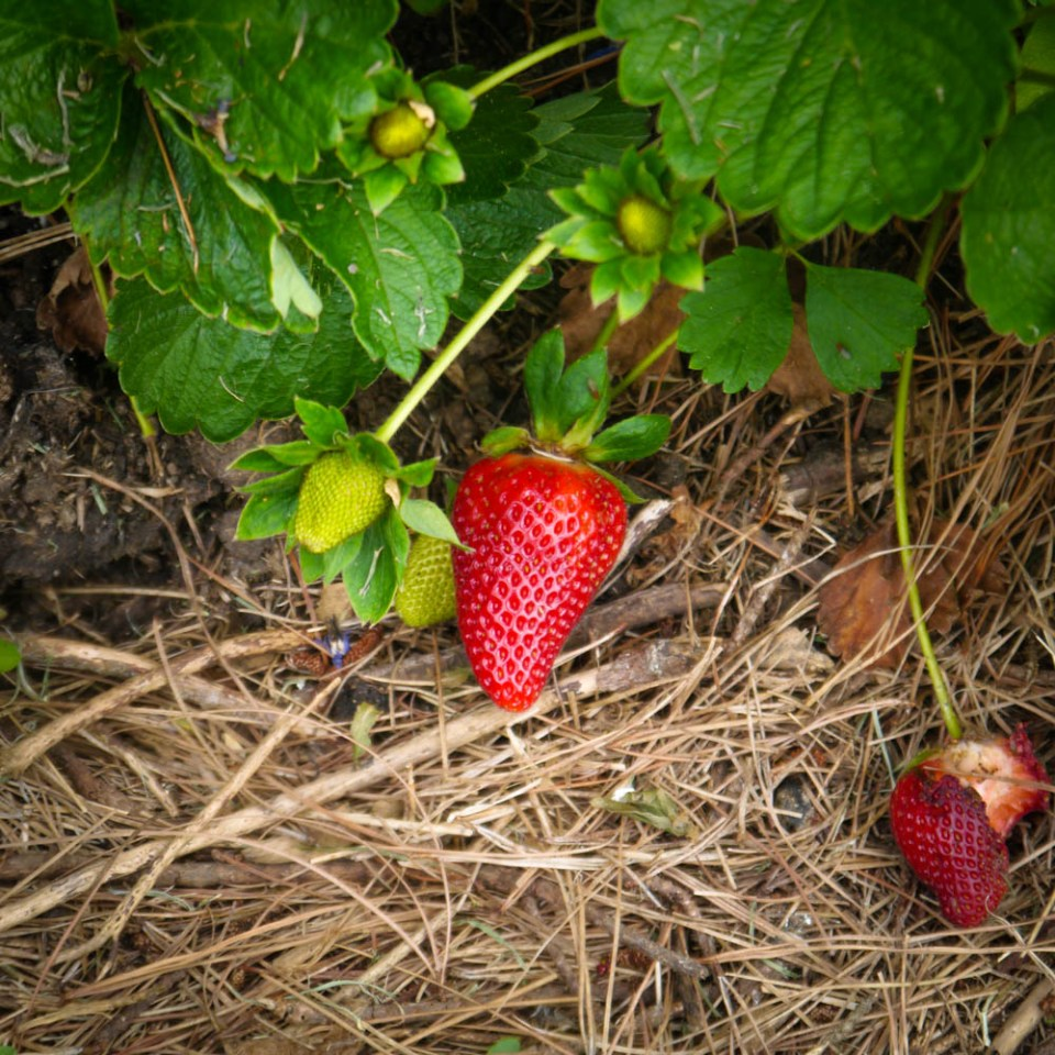 strawberries-1090111
