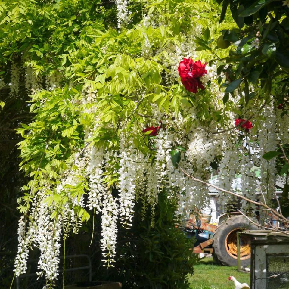 white wisteria-1090235