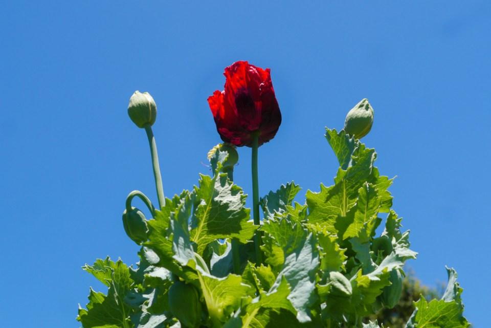poppy-1090657
