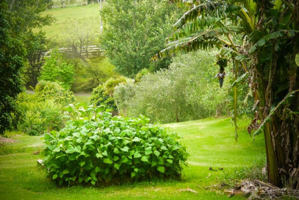 yacon garden-1090831