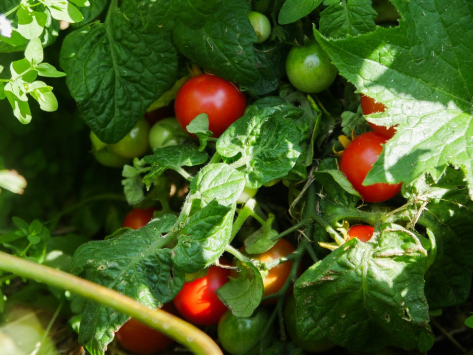 dwarf-tomatoes-1100649